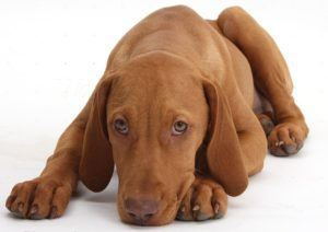 Hungarian Vizsla puppy, 13 weeks old, lying with chin on floor